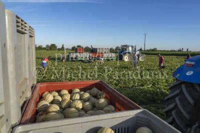 Récolte du melon, PANIER DES CHAMPS, Matthieu & Sebastien CHABIRAND