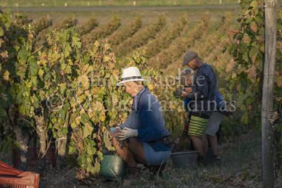 Prieuré de La Chaume, vigne, vendange