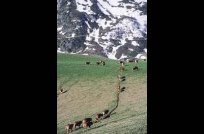 Dernière transhumance du siècle, Vielle-Aure. Montée des vaches.