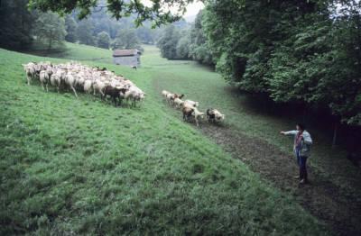 Transhumance moutons, dernière montée du XXe siècle, avec François Cascarre.