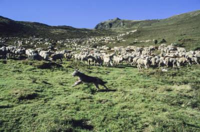 Dernière transhumance du siècle, Vielle-Aure. Descente des moutons avec François Cascarre